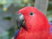 Fermez-vous d'une consommation de perroquet d'eclectus image libre de droits