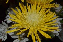 Fermez-vous d'une fleur d'araignée jaune de chrysanthème pour un mariage Photographie stock libre de droits