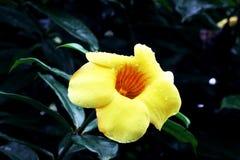 Fermez-vous d'une fleur d'alamanda Photographie stock libre de droits