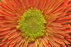 Fermez-vous d'une fleur de marguerite orange arrosée avec de l'eau Photos stock