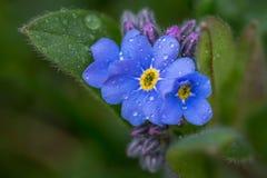 Fermez-vous d'une fleur de myosotis photographie stock