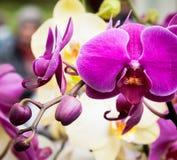 Fermez-vous d'une fleur fuchsia d'orchidée et de ses bourgeons photo libre de droits