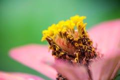 Fermez-vous d'une fleur pourpre de Zinnia Photographie stock
