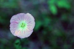 Fermez-vous d'une fleur sauvage au lac MArtin Louisiana image libre de droits