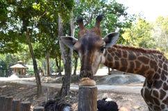 Fermez-vous d'une girafe léchant la nourriture d'un poteau en bois, en aplatissant ridiculement son visage photo libre de droits