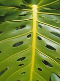 Fermez-vous d'une grande feuille tropicale vert clair de philodendron avec un modèle de troué photo libre de droits