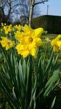 Fermez-vous d'une grande jonquille jaune devant un petit champ de jonquille Image stock