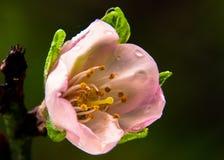 Fermez-vous d'une nouvelle fleur d'amande photos stock