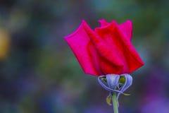 Fermez-vous d'une rose photos stock