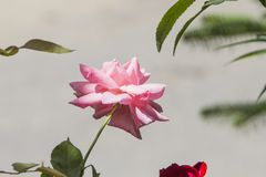 Fermez-vous d'une rose de damassé dans la pleine fleur avec les feuilles vertes sur une lumière gentille - grise - fond brun photographie stock