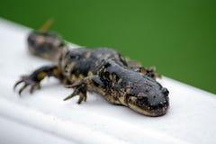 Fermez-vous d'une salamandre repérée noire et jaune Image stock