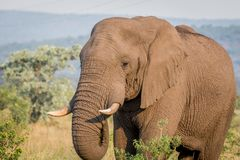 Fermez-vous d'une tête d'éléphant africain image stock