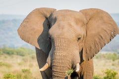 Fermez-vous d'une tête d'éléphant africain photographie stock