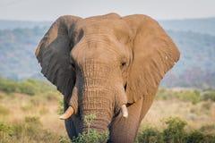Fermez-vous d'une tête d'éléphant africain photo libre de droits