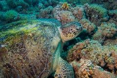 Fermez-vous d'une tortue géante en mer, la Mer Rouge Photographie stock