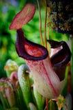 Fermez-vous d'une usine de broc de carnivorus de Nepenthes images libres de droits