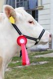 Fermez-vous d'une vache très gentille à gagnant de récompense de jeunes Photo libre de droits