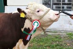Fermez-vous d'une vache très gentille à gagnant de récompense de jeunes Images libres de droits