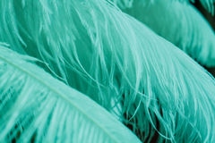 Fermez-vous de beaucoup de plumes molles de menthe de bleu Photo libre de droits