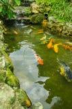 Fermez-vous de beaucoup de grands carpas nageant dans l'étang, en Equateur occidental, à l'altitude de 1,400m dans Mindo, Pichinc Photo stock