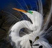 Fermez-vous de couleurs d'élevage du héron blanc Photographie stock