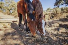 Fermez-vous de deux beaux chevaux bruns mangeant l'herbe de la terre Photo libre de droits