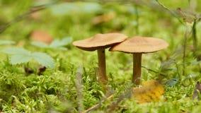 Fermez-vous de deux champignons dans la forêt banque de vidéos