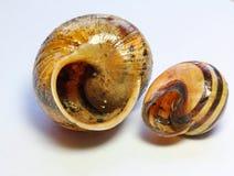 Fermez-vous de deux coquilles vides d'escargot Photos stock