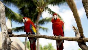 Fermez-vous de deux perroquets rouges se reposant sur la perche Photo stock