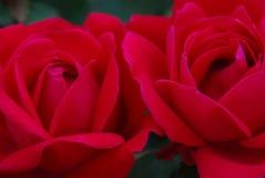 Fermez-vous de deux roses rouge-foncé Photos libres de droits
