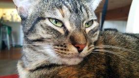 Fermez-vous de Gray Tabby Cat vigilant Images stock