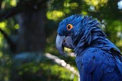 Fermez-vous de Hyacinth Macaw bleu vif, portrait bleu de perroquet avec le fond brouillé photos libres de droits