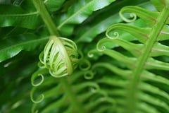 Fermez-vous de jeune Fern Leaf de roulement vert vibrant, avec le foyer sélectif image libre de droits