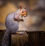 Fermez-vous de l'écureuil gris Photo stock