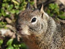 Fermez-vous de l'écureuil moulu de la Californie Photo libre de droits