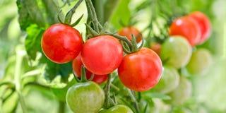 Fermez-vous de l'élevage de tomates-cerises Images stock