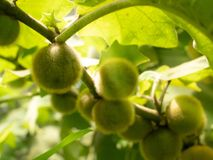 Fermez-vous de l'élevage de fruit velu vert sur une branche dans le Seychel Images stock