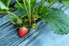 Fermez-vous de l'élevage organique frais de fraises Photo libre de droits