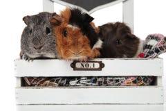 Fermez-vous de l'équipe drôle de cobaye dans le lit en bois Photographie stock libre de droits
