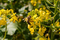 Fermez-vous de l'abeille de travailleur pollinisant un Wildflower pendant le ressort Image libre de droits