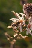 Fermez-vous de l'abeille de travailleur pollinisant un Wildflower pendant le ressort Images libres de droits