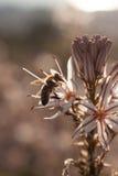 Fermez-vous de l'abeille de travailleur pollinisant un Wildflower pendant le ressort Photographie stock
