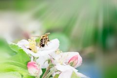 Fermez-vous de l'abeille de miel sur le pommier au printemps avec les fleurs blanches au jour ensoleillé images stock