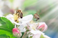 Fermez-vous de l'abeille de miel sur le pommier au printemps avec les fleurs blanches au jour ensoleillé photo libre de droits