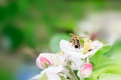 Fermez-vous de l'abeille de miel sur le pommier au printemps avec les fleurs blanches au jour ensoleillé image libre de droits