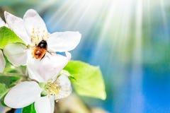 Fermez-vous de l'abeille de miel sur le pommier au printemps avec les fleurs blanches au jour ensoleillé L'espace pour le texte images stock