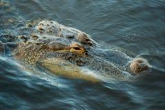 Fermez-vous de l'alligator américain Photos libres de droits