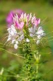 Fermez-vous de l'araignée-fleur épineuse Image stock