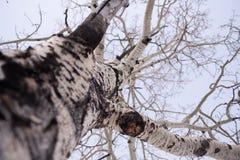 Fermez-vous de l'arbre d'Aspen en hiver image stock