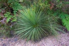 Fermez-vous de l'arbre d'herbe endémique australien, usine de Xanthorrhoea image stock